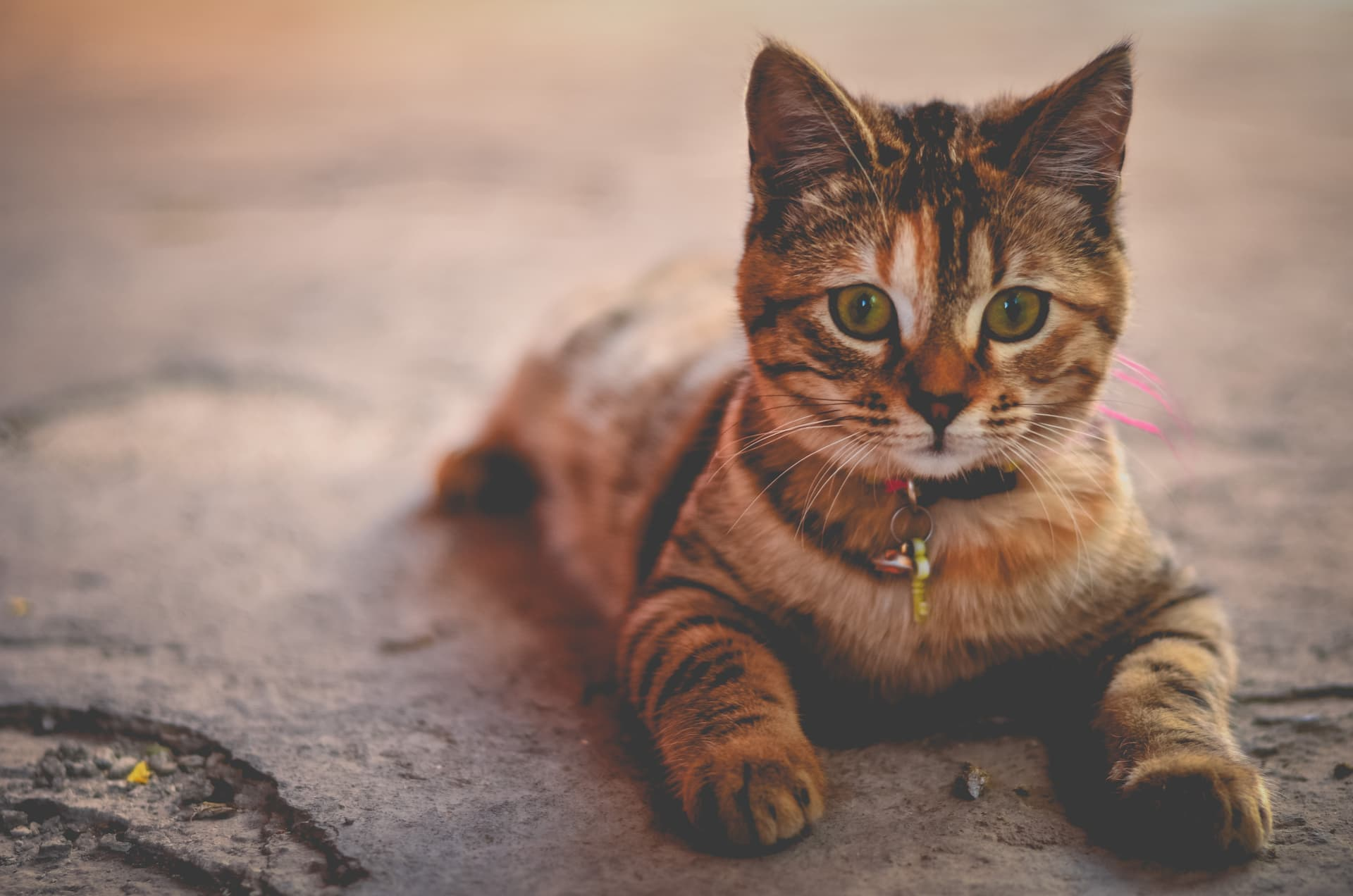 História vývoja mačiek